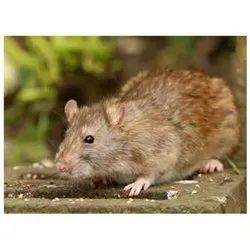 Rat Control Treatment Service