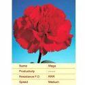 Cut Flower Caryophyllaceae Mega Carnation Plant, Botanical Name: Dianthus