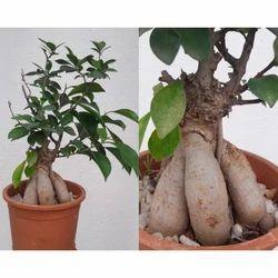 Ficus Bonsai Plant  Designer (Single Piece)