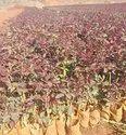 taj mahal  poly house rose Plants