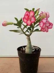Adenium Plant - Wholesale Price & Mandi Rate for Adenum Plant