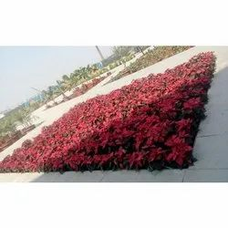Well Watered Red Outdoor Flowering Plants, for Garden