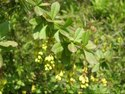 Tree Turmeric Extracts