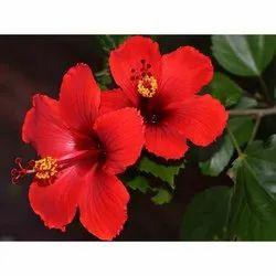 Hibiscus Rosa Sinensis In Pune गडहल क फल पण