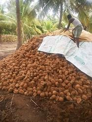 Pollachi nature coconut exports - Fresh Pollachi Coconut