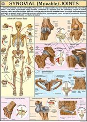 Movable Joints (Synovial)  For Human Physiology chart