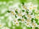 Green Jasmine Fragrance