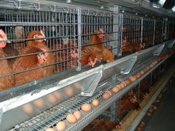 Battery Poultry Cage