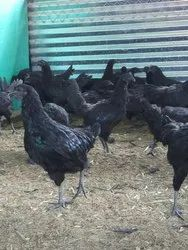 Poultry Kadaknath Chicken