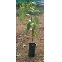 African Mahogany Plant