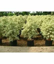 Kingbush Plant