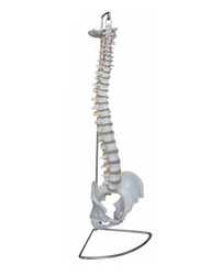 Life Size Human Spinal Column Models