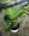 Vietnam Dwarf Areca Palm