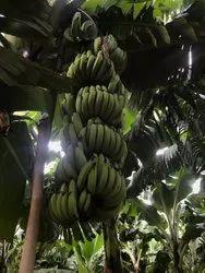 g9 A Grade Banana