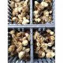 Vanaraja Chicks