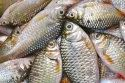 Fish Aquaculture Probiotics