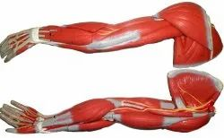Human Arm Muscles Model
