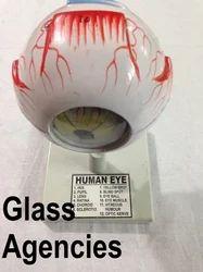 EROSE White Human Eye Model, For Medical