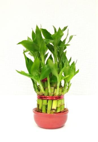 2 Layer Lucky Bamboo Plant At Rs 150 1