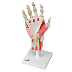 Hand Skeleton Model with Ligaments and Muscles