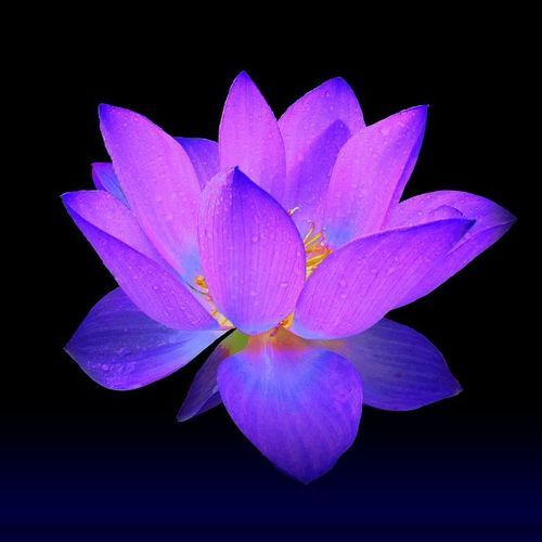 Flower Plant Lotus Flower Plant Wholesale Trader From Gurgaon