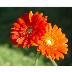 Gerbera Fresh Flower