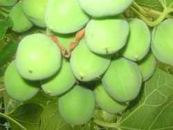Jatropha Curcas 25 Seeds
