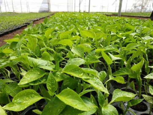 Natural Green Chilli Plant