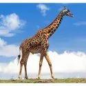 Giraffe Grower Feed