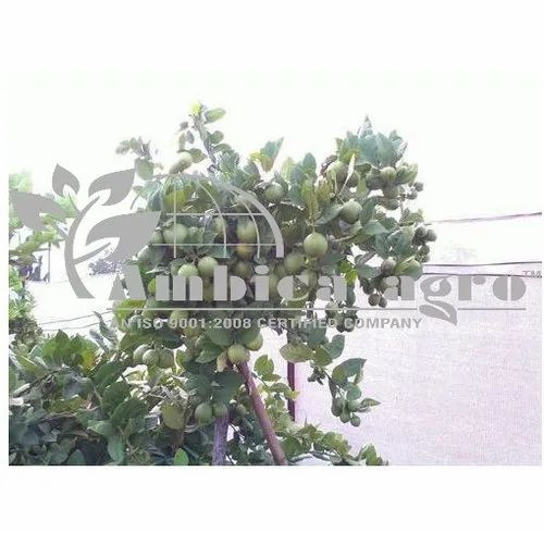 Seedless Lemon Tissue Culture Plants