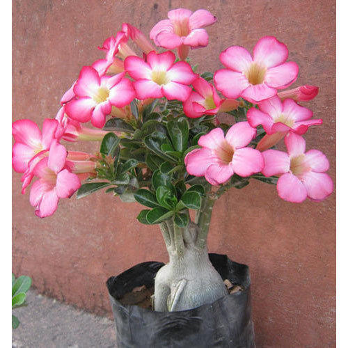 ca8d8b522caf Adenium Desert Rose Plant at Rs 150  piece