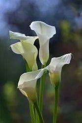 Cala Lilly Flower