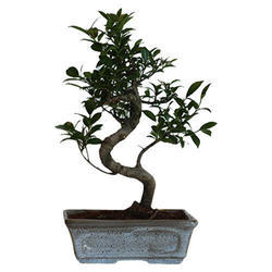Ficus Bonsai S-Shape Plants