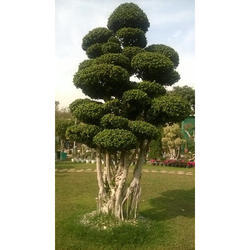 Ficus Ginseng Grafted Chinese Ficus Bonsai at Rs 1000 /piece