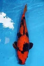 Hi Utsuri Koi Fish