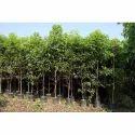 Bakul Plant