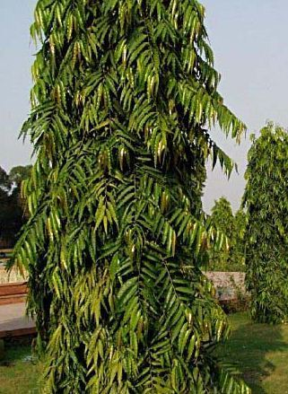 ashoka tree images  Indian Mast Tree Ashoka at Rs 120 | Ashoka Tree | ID: 14524676188