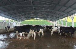 Dairy Farm Roofing Shed