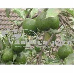 Avacado Fruits Plants
