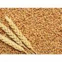 GW322 Wheat