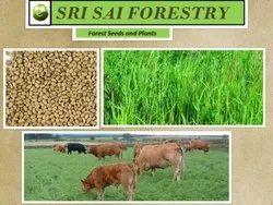 Alfa Alfa Grass Seeds