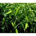 Hybrid Green Chilli Seeds CH- 66