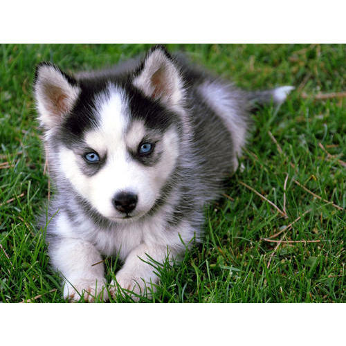Husky Dog Puppy Price