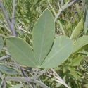 Indigofera Fresh Leaves