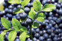 Bilberry Extract 25%