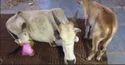 Cow Leg Treatment