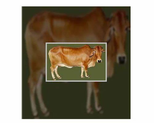 Live Sahiwal Cows | New Prem Nagar, Karnal | Anmol Dairy