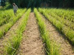 Vetiver Grass Plantation
