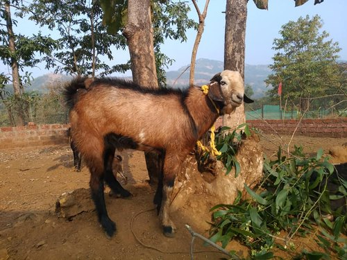 Products & Services | Animal / Crop Production from Satara