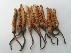 Cordyceps Sinensis (Yarsagumba)